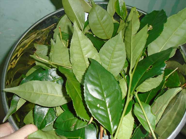 Lá trà xanh là nguyên liệu quen thuộc trong hầu hết các bài thuốc chữa bệnh phụ khoa