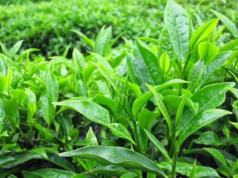Bài thuốc từ lá chè xanh giúp cải thiện tình trạng viêm nhiễm và khử mùi hôi vùng kín